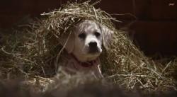 puppy-budweiser